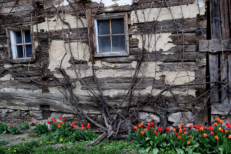 Tulpen vor Hütte in Scharten